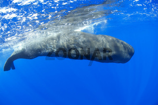 Pottwal, Physeter catodon, Physeter macrocephalus, sperm whale