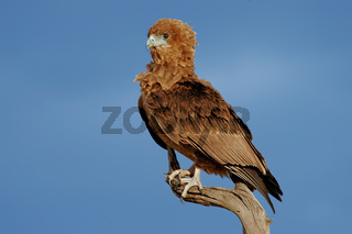 Young bateleur eagle