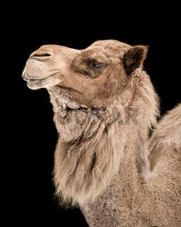 Dromedary Camel III