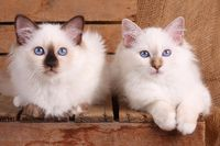 SACRED CAT OF BIRMA, BIRMAN CAT, KITTEN, LITTER, INTERESTEDLY,