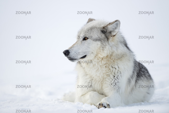 amber golden eyes... Wolf *Canis lupus*
