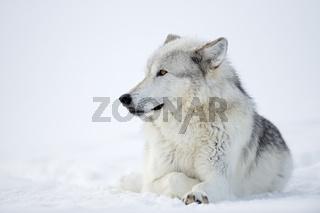 wunderschöne Augen... Wolf *Canis lupus*