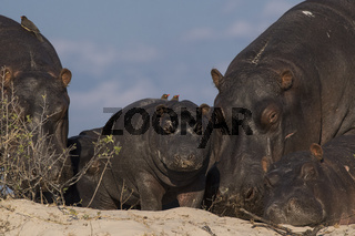 Flußpferd, (Hippopotamus amphibius), Chobe