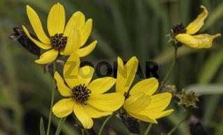 Sonnenhut, (Rudbeckia fulgida) Korbblütler (Asteraceae)