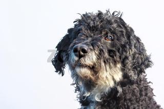Tibet-Terrier-Pudel Mix