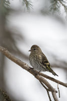 perched in a conifer tree...  Pine siskin *Spinus pinus*