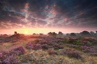 flowering heather at sunrise