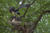 feeding its chicks... Black Stork *Ciconia nigra*