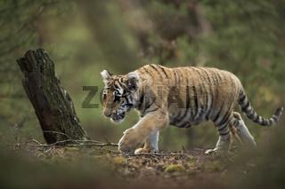 mitten im Wald... Königstiger *Panthera tigris*