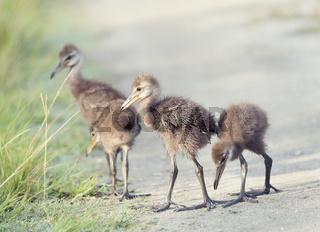 Limpkin Chicks in Florida Wetlands
