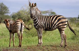 Zebra, Steppenzebra, Südafrika, South Africa, Plains Zebra, Perissodactyla, Equus quagga