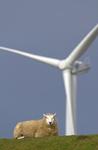 Schaf mit Windkraftanlage