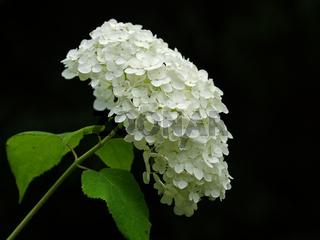 Blütenstand einer Gartenhortensie