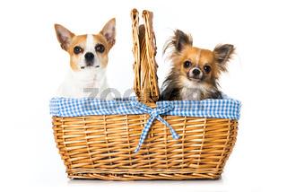 Chihuahua im Picknickkorb