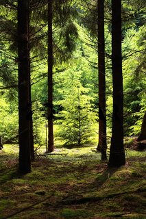 spruce tree in forest illuminated with sunlight