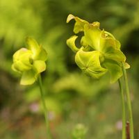 Carnivorous Plant