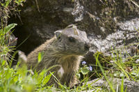 Marmot in front of his cave