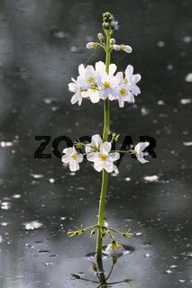 Europaeische Wasserfeder, Hottonia palustris, featherfoil