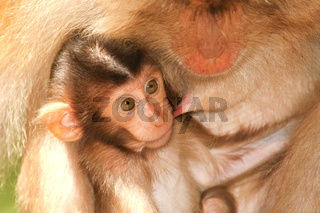 Pig-tailed Macaque - baby - Borneo-Malaysia _0001.jpg