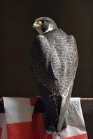 noble bird... Peregrine Falcon *Falco peregrinus*