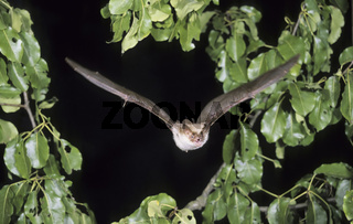 Grosses Mausohr, Myotis myotis, Greater mouse-eared bat