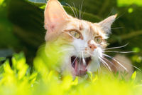 Cute white-red cat in a red collar relax on the garden of green grass