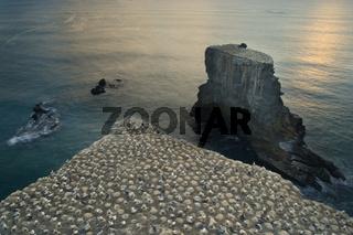 Australtoelpel-Kolonie, Morus serrator, Brutkolonie der Australtoelpel von Muriwai Beach. Die Toelpel brueten auf steilen Klippen, die zum Teil der Kueste vorgelagert sind. Muriwai Regional Park, Auckland, Nordinsel, Neuseeland     Gannet Colony, Morus se