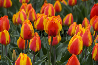 Orangefarbene Tulpen auf einem Tulpenenfeld