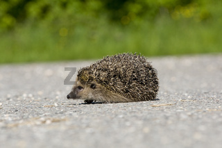 Igel auf Strasse,  hedgehog on street