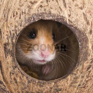 Goldhamster in einer Kokosnuss - Golden hamster in a  coconut