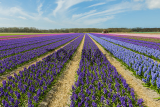 Hyacinth Field Colors with Sky