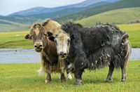 Two Yaks (Bos mutus) with long shaggy hair, Orkhon Valley, Mongolia