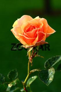 Rose, Bluete, lachsfarben