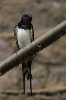in an old cowshed... Barn Swallow *Hirundo rustica*