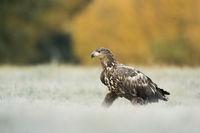 walking over a frozen meadow... White tailed Eagle *Haliaeetus albicilla*