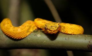 Junge Lanzenotter auf einem Baumzweig im Dschungel Costa Ricas