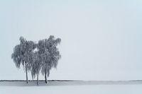 3 Birken - 3 birches