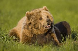 Baerenmutter mit Jungtier, Europaeischer Braunbaer (Ursus arctos), Bayern, Deutschland, Germany, Brown Bear, dam with young, Bavaria, Germany