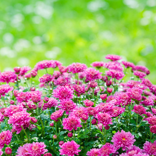 Beautiful blooming pink chrysanthemum bush in the garden