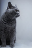 Portrait of Beautifu funny domestic gray British cat closeup
