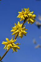 forsythia; flower; blossom