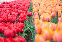 Flower bed of multicolored tulips, Keukenhof, the Netherlands.