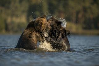 Rangelei im Wasser... Europäische Braunbären *Ursus arctos*