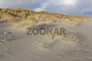 Weißdüne mit Strandhafer (Ammophila arenaria) am Weststrand von Sylt, Schleswig-Holstein, Deutschland
