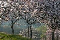 Mandelbaumblüte (Prunus dulcis) in der Südpfalz
