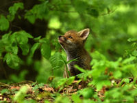 fox; puppy; whelp;
