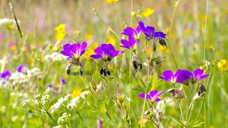 Bergwiesen - spring flower meadows in mountains