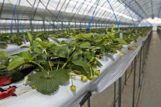 Hors-Sol-Anbau von Erdbeeren im Gewächshaus, Everyday Farm LLC, Songino Khairkhan, Mongolei