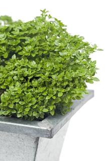 basil plant in a tin pot