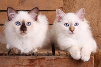 SACRED CAT OF BIRMA, BIRMAN CAT, KITTEN, LITTER,
